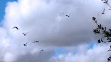 2017.12.09 La Chua Trail Cattle Egrets 3