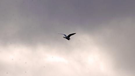 2017.12.09 La Chua Trail Cattle Egrets 4