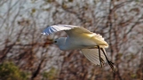 2017.12.16 La Chua Trail Cattle Egret 1