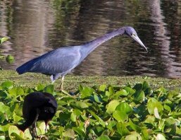 2017.12.22 La Chua Trail Little Blue Heron 1