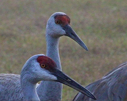2017.12.23 Beef Teaching Unit Sandhill Crane 2a