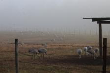 2017.12.23 Beef Teaching Unit Sandhill Crane 4a