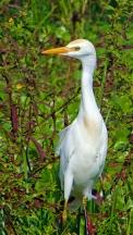 2017.12.24 La Chua Trail Cattle Egret 1