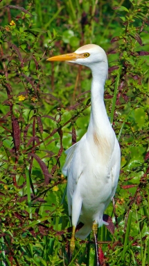 2017.12.24 La Chua Trail Cattle Egret 1