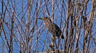 2017.12.24 La Chua Trail Green Heron 1