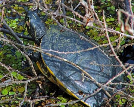 2017.12.24 La Chua Trail Turtle 1