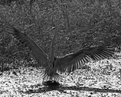 2017.12.25 La Chua Trail Great Blue Heron 1.B&W
