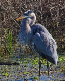 2017.12.25 La Chua Trail Great Blue Heron 2