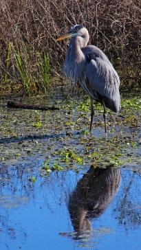 2017.12.25 La Chua Trail Great Blue Heron 3