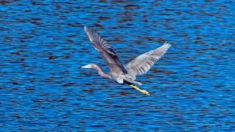 2017.12.25 La Chua Trail Little Blue Heron 1