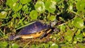 2017.12.25 La Chua Trail Turtle 1