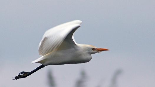 2017.12.28 La Chua Cattle Egret 1