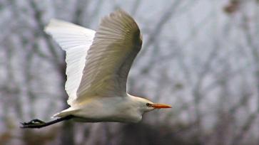 2017.12.28 La Chua Cattle Egret 2