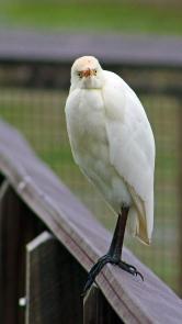 2017.12.28 La Chua Cattle Egret 3