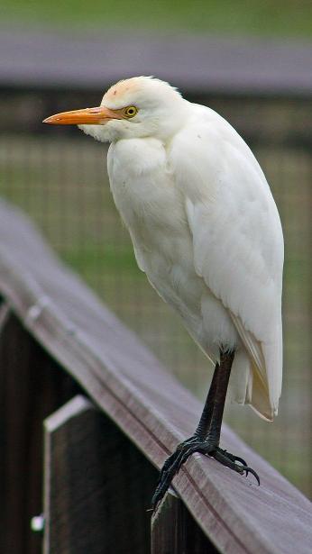 2017.12.28 La Chua Cattle Egret 4