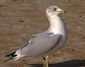 2017.12.30 Anastasia State Park Ring-Billed Gull 2