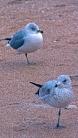 2017.12.30 Anastasia State Park Ring-Billed Gull 5