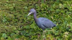 2017.12.31 La Chua Trail Little Blue Heron 1