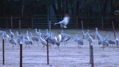 2018.01.06 Beef Teaching Unit Sandhill Cranes 12