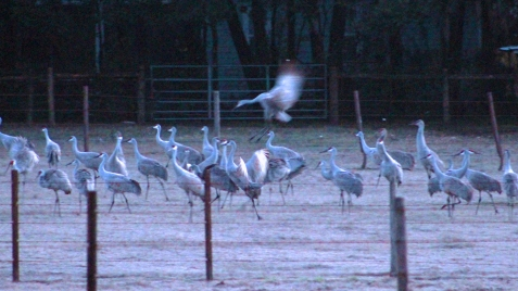 2018.01.06 Beef Teaching Unit Sandhill Cranes 12