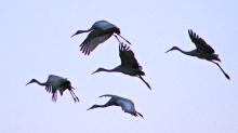 2018.01.06 Beef Teaching Unit Sandhill Cranes 19