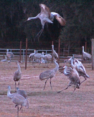 2018.01.06 Beef Teaching Unit Sandhill Cranes 20