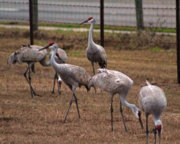 2018.01.13 Beef Teaching Unit Sandhill Cranes 1
