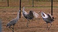 2018.01.13 Beef Teaching Unit Sandhill Cranes 2