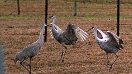 2018.01.13 Beef Teaching Unit Sandhill Cranes 2