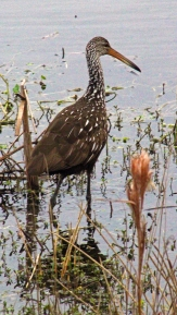 2018.01.13 Sweetwater Wetlands Limpkin 2