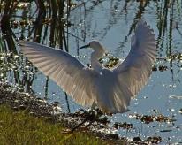 2018.01.14 Sweetwater Wetlands Egret 1