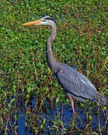 2018.01.14 Sweetwater Wetlands Great Blue Heron 1