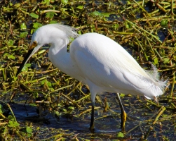 2018.01.14 Sweetwater Wetlands Snowy Egret 1