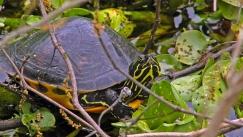 2018.03.11 La Chua Trail Turtle 1