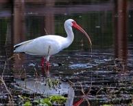 2018.03.11 La Chua Trail White Ibis 1