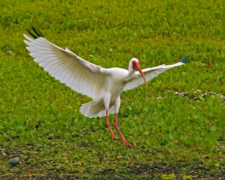 2018.03.11 La Chua Trail White Ibis 2