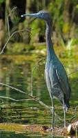 2018.03.13 Silver Springs Little Blue Heron 2