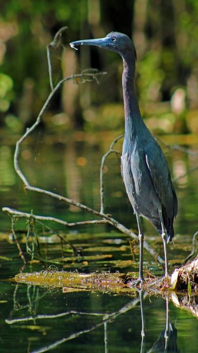 2018.03.13 Silver Springs Little Blue Heron 3