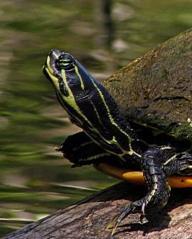 2018.03.13 Silver Springs Turtle 1