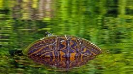 2018.03.13 Silver Springs Turtle 10