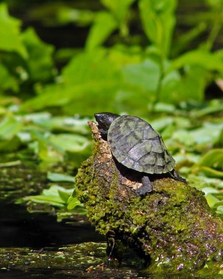 2018.03.13 Silver Springs Turtle 11