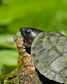 2018.03.13 Silver Springs Turtle 12