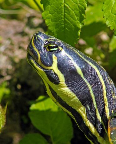 2018.03.13 Silver Springs Turtle 13