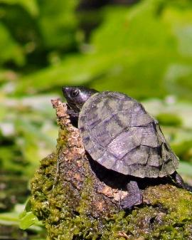 2018.03.13 Silver Springs Turtle 2