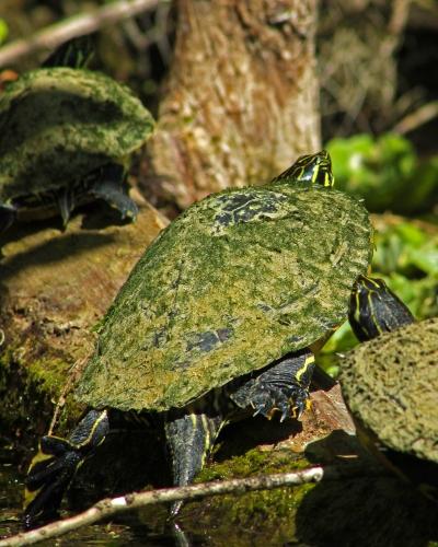 2018.03.13 Silver Springs Turtle 3