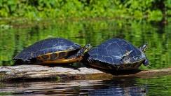 2018.03.13 Silver Springs Turtle 4