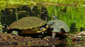 2018.03.13 Silver Springs Turtle 5