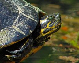 2018.03.13 Silver Springs Turtle 6
