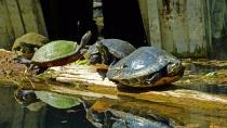 2018.03.13 Silver Springs Turtle 7