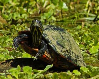 2018.03.13 Silver Springs Turtle 8